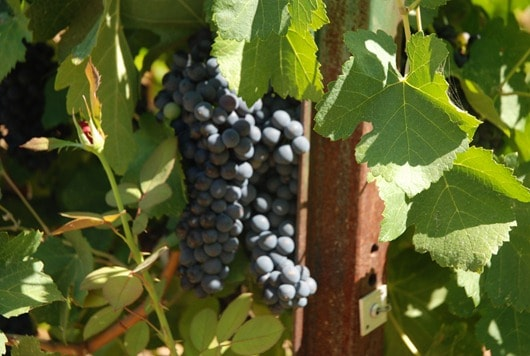 Syrah Grapes on the Vine
