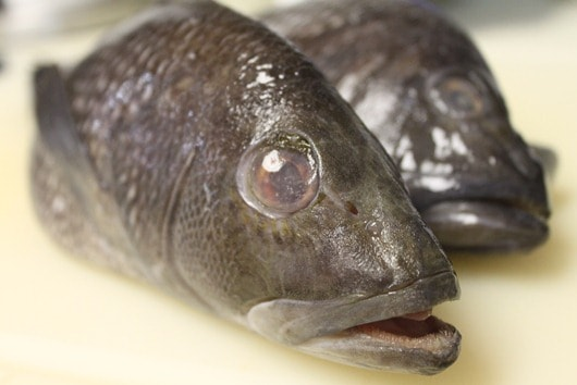 Black Sea Bass: mouth wide open in disbelief when he found out his fate...
